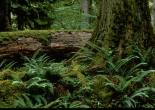 Hoh Rain Forest Giant and Log